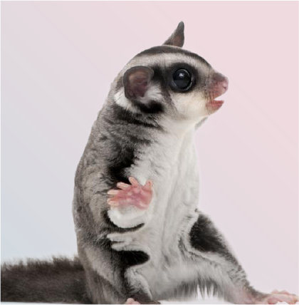 Black-Beauty Sugar Glider