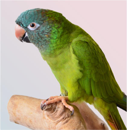 Beautiful and colorful isolated blue crowned conure