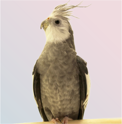 White faced grey cockatiel on white background