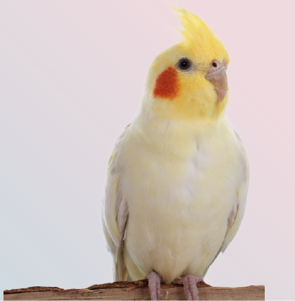 The cute parrot cockatiel captured on white background