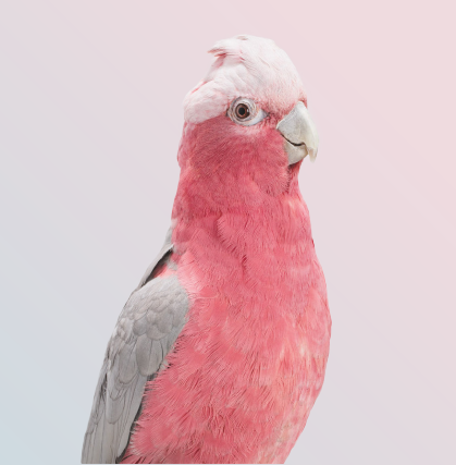 Australia endemic bird cacatua galahs (Galah cockatoo) close up portrait