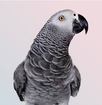 Close of gray parrot (Psittacus erithacus)