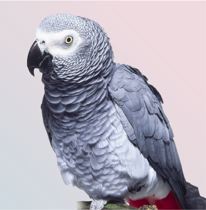 Close Up of African Grey Parrot/congo african grey parrot