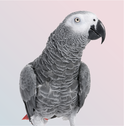Portrait of African Gray Parrot in Mufasapets Chennai