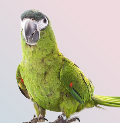 Hahns Macaw parrot in Mufasa Pets Chennai