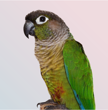 Closeup view of attractive maroon belied conure at Mufasapets Chennai