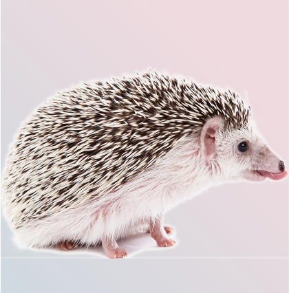 North African Hedgehog