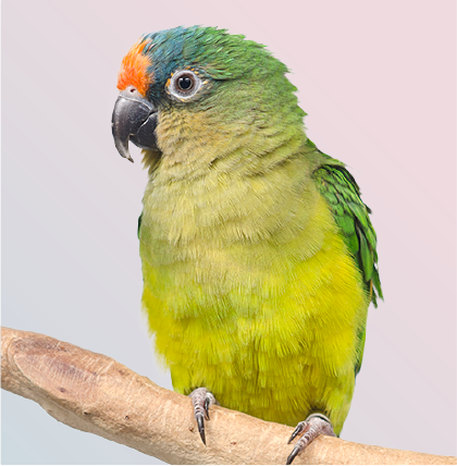 Portrait of colorful peach fronted conure