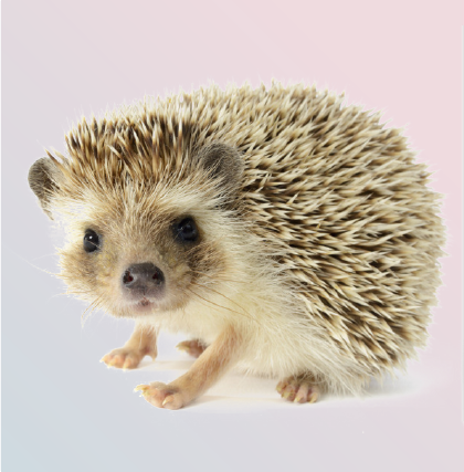 Somali Hedgehog