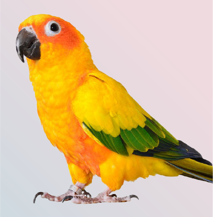 Close up of Beautiful isolated sun conure parrot bird at Mufasapets chennai